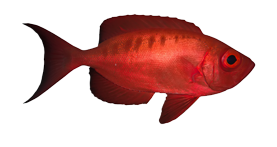 img_red_fish